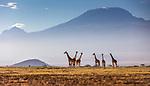 Masai giraffes and Mount Kilimanjaro, Amboseli National Park, Kenya