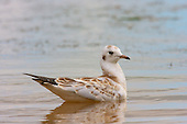 Black headed Gull (Chroicocephalus ridibundus) Juvenile swimming. Once fledged their adult life begins, now with very little interaction with the parents and just about fully independent.