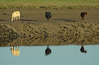 Cows reflected in the River Nith at Glencaple, Galloway<br /> <br /> Copyright www.scottishhorizons.co.uk/Keith Fergus 2011 All Rights Reserved