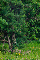 Oak populate the forest edge at Nachusa Grasslands Nature Conservancy, Lee and Ogle Counties, Illinois
