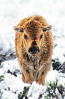 610658544 a bison calf bison bison stands in deep snow during a late spring snowstorm in yellowstone national park in wyoming