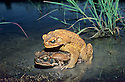 Cane Toads (Bufo marinus) male in amplexus with female in farm dam near Rockhampton, Queensland