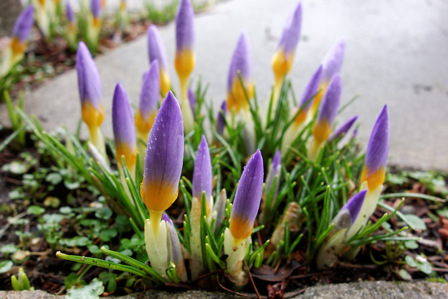 Purple crocus flowers sprouting out of crack in walkway, Washington