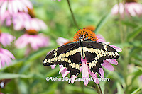 03017-01011 Giant Swallowtail butterfly (Papilio cresphontes) on Purple Coneflower (Echinacea purpurea)  Marion Co., IL