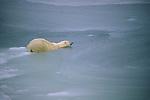 A polar bear wades in water.