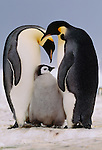 Emperor penguins and chick, Antarctica