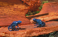 BLUE POISON ARROW FROGS..aka BLUE POISON DART FROGS/Blue Poison Frogs..Southern Suriname/Surinam. Captive..(Dendrobates azureus).