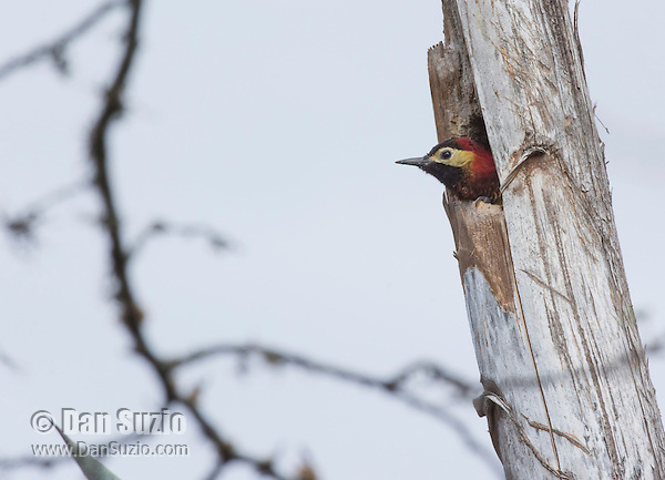 Golden-olive woodpecker, Piculus rubiginosus, looks out of its nest in Jerusalem Park, Ecuador