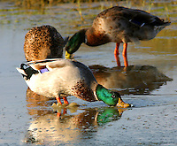 Adult male mallard in breeding plumage