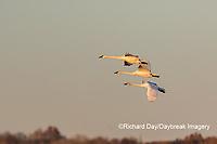 00758-02016 Trumpeter Swans (Cygnus buccinator) in flight Riverlands Migratory Bird Sanctuary St. Charles Co., MO