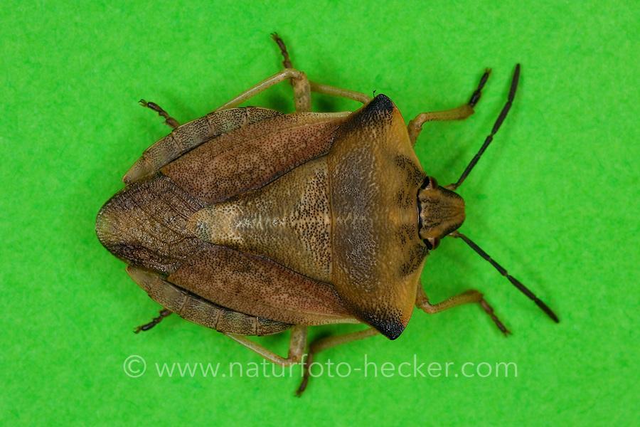 Nördliche Fruchtwanze, Baumwanze, Carpocoris fuscispinus, stink bug