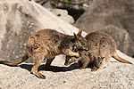 Mareeba rock-wallaby mom with joey in her pouch (Petrogale mareeba)  with male wallaby grooming mommy.