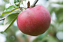 Apple 'William Crump', mid September. An English desert apple from the beginning of the 20th century. Some confusion over whether it was bred by Mr Carless, the foreman at Rowe's Nurseries in Worcester, or by William Crump, head gardener at Madresfield Court, near Malvern in Worcestershire.