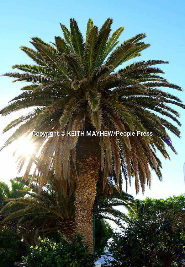 LANZAROTE, CANARY ISLANDS - Palm Trees in the beach resort of Costa Teguise during January 2016 in Lanzarote, Canary Islands<br /> <br /> Photo by Keith Mayhew