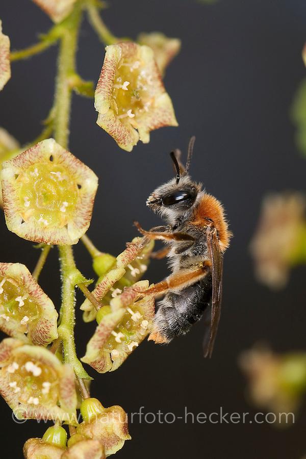Rotschopfige Sandbiene, Sand-Biene, Wildbiene an Rote Johannisbeere, Andrena haemorrhoa, syn. Andrena albicans, Andrenidae, Sandbienen, mining bees, burrowing bees, mining bee, burrowing bee