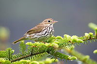 ovenbird, Seiurus aurocapilla, perched on evergreen in spring, Nova Scotia, Canada