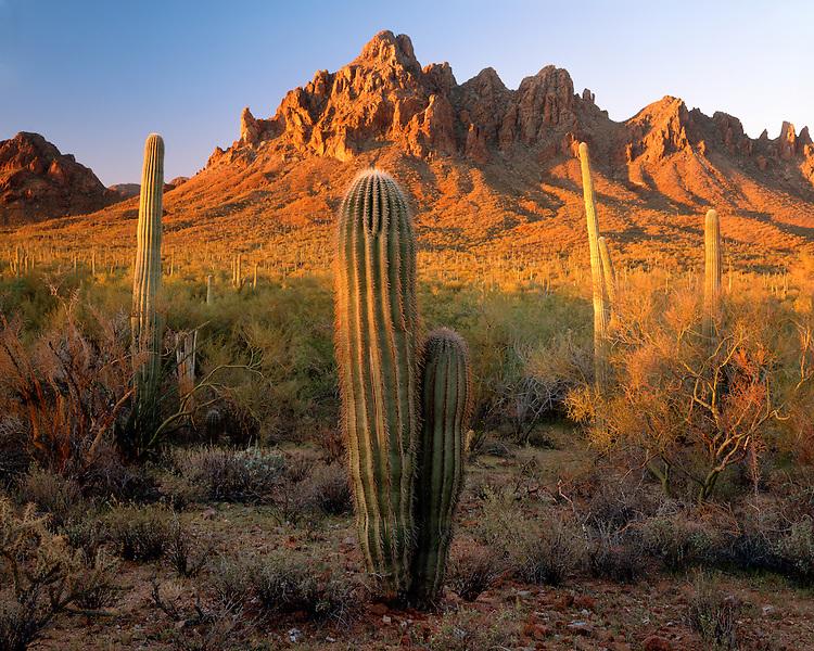 Sunrise light on saguaro cactui below Ragged Top; Ironwood Forest National Monument, AZ