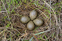 Black Turnstone (Arenaria melanocephala) nest in coastal sedge. Yukon Delta National Wildlife Refuge, Alaska. June.