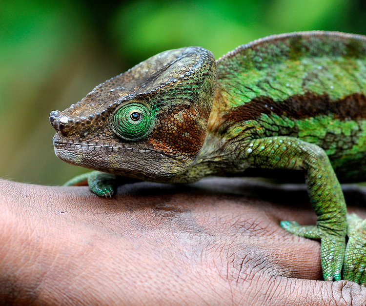 Calumma ambreense. This chameleon is endemic to the island of Madagascar, where it is restricted to Montagne d'Ambre National Park between 900 and 1,250 m above sea level.