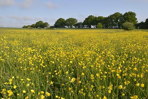 Meadow Buttercup - Ranunculus acris