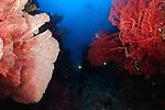 East Indonesia, large sea fans found in abundance in Misool, Raja Ampat