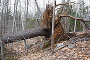 Uprooted Eastern White Pine tree (Pinus strobus) in the White Mountain National Forest of New Hampshire USA.