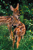 Black-tailed Deer fawns. Spring..Pacific Coast. British Columbia, Canada..(Odeocoileus hemionus).