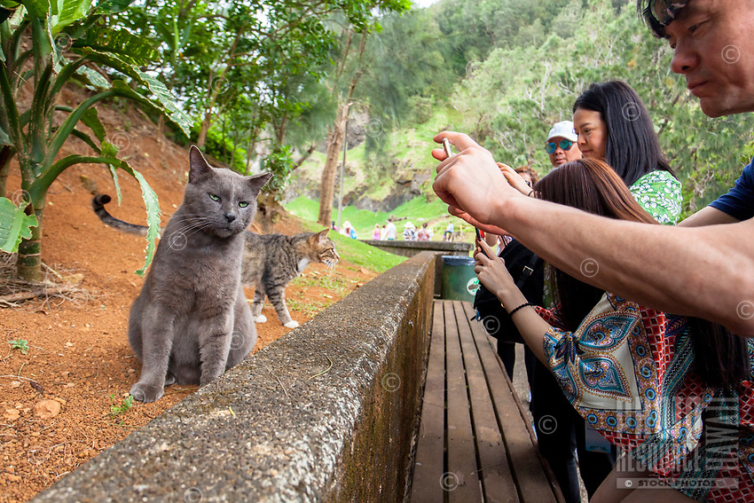Asian tourists use their cell phones to photograph feral cats at the Pali Lookout park area, Honolulu, O'ahu.