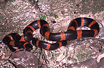 Snail Eating Snake, Sibon sp. black & red, Belize