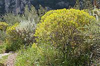 Macchia, Macchie, Sizilien, Italien, Mittelmeer, mediterran, Trockenbiotop, Baum-Wolfsmilch, Baumwolfsmilch, Euphorbia dendroides. Machina, Mediterranean, Tree Spurge, Italy, Sicily