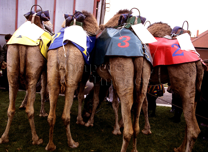 Rear view of competing camels at a race