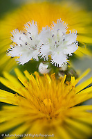 Fringed Phacelia and dandelion flower, Great Smoky Mountains National Park, Tennessee