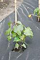 Sweet potatoes being grown through a weed-resistant, moisture-retentive sheet mulch, end June.
