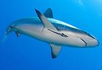 Gray reef shark ( Carcharhinus amblyrhynchos ) with remora, Inglis Shoal, Kimbe Bay