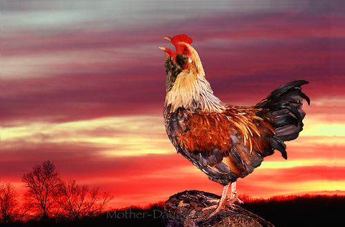 good morning images with roosters