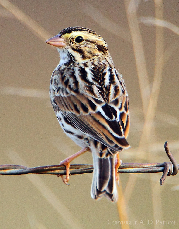 Savannah sparrow in winter