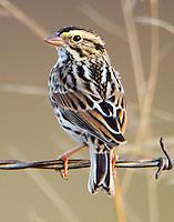 Savannah sparrow in winter
