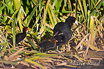 American Coots (Fulica americana), adult with chicks among cattails in wetland, Mono Lake Basin, California, USA
