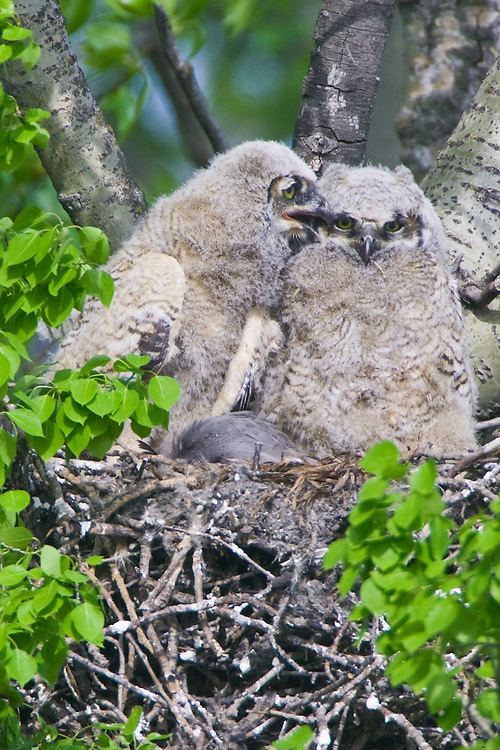One owlet whispering to another