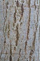 Grau-Erle, Grauerle, Rinde, Borke, Stamm, Baumstamm, Erle, Alnus incana, Grey Alder, Gray Alder, bark, rind, trunk, stem, Aulne blanc