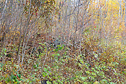 In this thick brush is the remnants of the Donahue house cellar hole in the abandoned village of Livermore, New Hampshire. This was a logging village in the late 19th and early 20th centuries along the Sawyer River Logging Railroad.