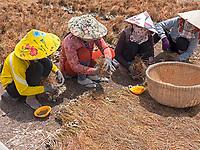 Women sorting out Onion seeds for the next season, near Bac Lieu, Mekong Delta, Vietnam.