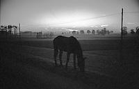 Castelnuovo bocca D'adda (Lodi), località Brevia. Cavallo al tramonto tra i campi --- Castelnuovo bocca D'adda (Lodi). Horse at sunset at the fields