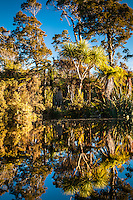 Reflections of native forest in Five Mile Creek near Okarito, Westland Tai Poutini National Park, West Coast, UNESCO World Heritage Area, New Zealand, NZ