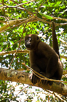 Woolly Monkey in the Napo Rainforest.