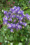 'WINKY BLUE-WHITE' COLUMBINE, AQUILEGIA VULGARIS