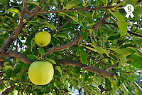 Two Green Apples on tree (Licence this image exclusively with Getty: http://www.gettyimages.com/detail/95574863 )