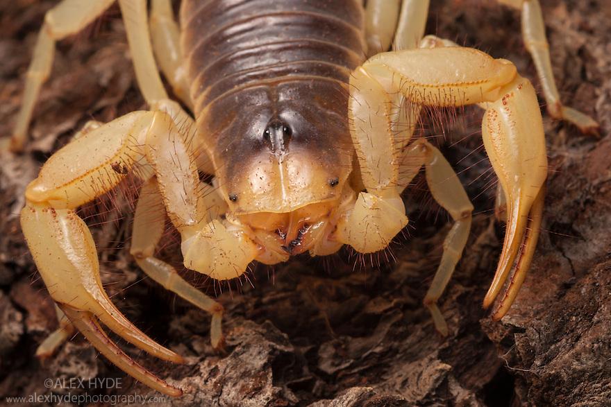 Desert Hairy Scorpion {Hadrurus arizonensis}. Captive, originating from North America.