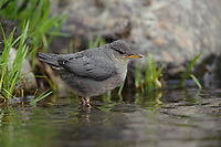 Fledgling American Dipper (Cinclus mexicanus). King County, Washington. April.