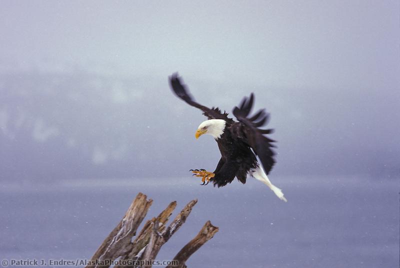 Bald eagle in flight in Homer, Alaska.